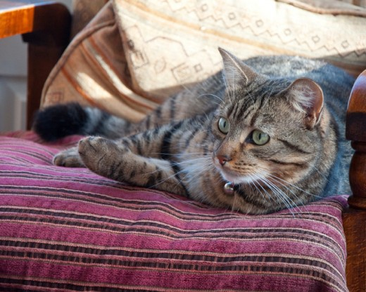 Minnie the tabby cat on her cushion