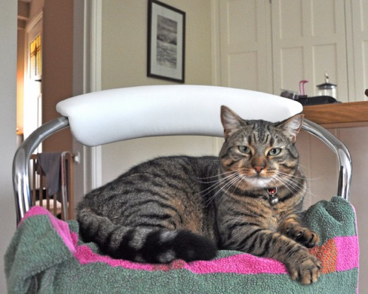 Minnie the tabby cat on a chair