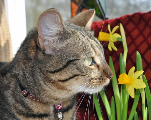 Minnie the tabby cat with dafodills