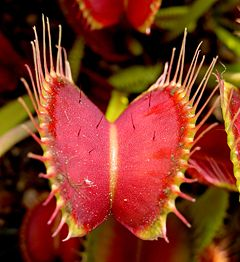 A Venus Fly Trap may be the closest thing some people get to owning a pet.