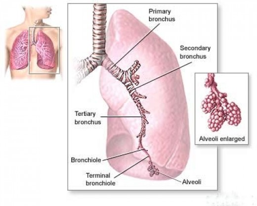 Mesothelioma Lung Cancer. Mesothelioma The Lung Cancer