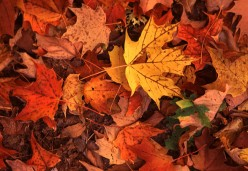 Mulch your leaves into your lawn,  It's just smarter.