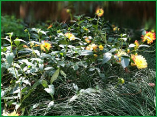 The dahlia sit on top of mondo grass, with many peeking new shoots up to the sun.