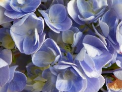How To Use Hydrangeas  In Centerpieces: Preserve For Year Around Beauty