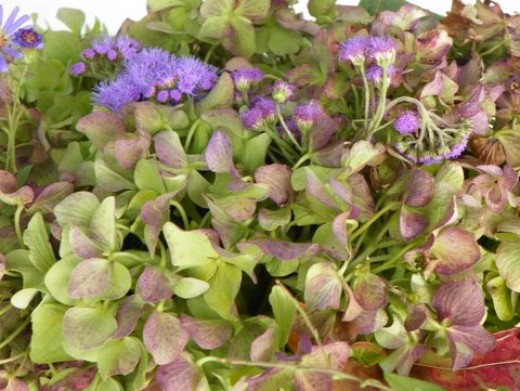 Hydrangeas just beginning to pass from green to purple with purple wildflowers.