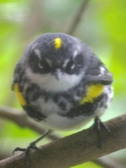 Squatty Yellow-Rumped Warbler