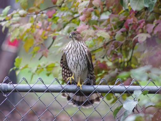 Crook-Shanked Hawk