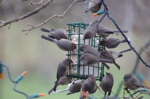 Feeding Bushtits