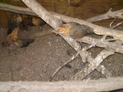 Chicks finding their way around their new home outside. Roosting poles made from tree branches.