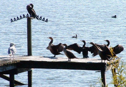 Geese sunning themselves on dock.