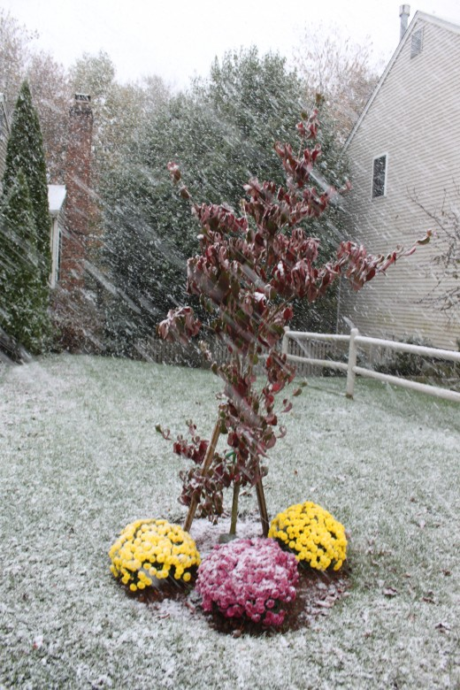 Dogwood and colorful mums, a great fall scene now covered in snow!
