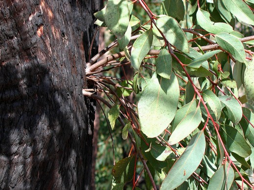 Leaves from a eucalyptus tree