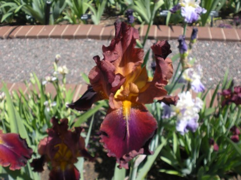 Photo 9  - This doesn't sound like it would be a very pretty iris, but look at how rich and amazing it looks!