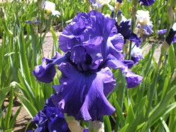 Flowers in Shades of Blue - A Gallery of Periwinkle Blues and More