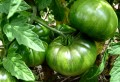 Yellow leaves on tomato plants - Get rid of yellow tomato leaves and find out their causes