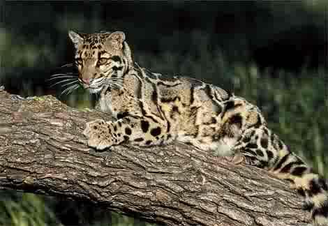The boreno clouded leopard
