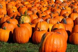 Pumpkins and more pumpkins!