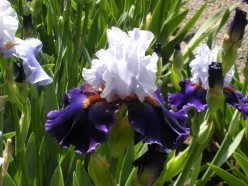 Bearded Iris - A Gallery of Flowers