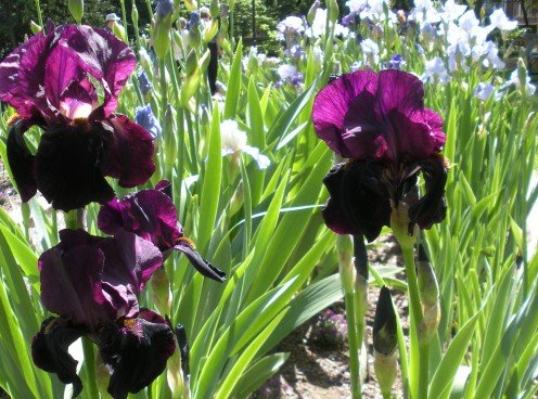 Photo 8 - Pretty, Rich deep purple iris blooms.  I really loved these ones.