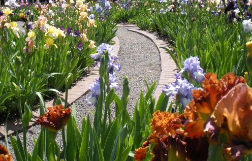 Photo 11 - There is something special about curvy paths in gardens, where you don't see around the corner.  These blooming irises and the path draw me in, to see where it goes.