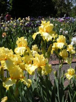 Yellow Iris Flowers - A Gallery