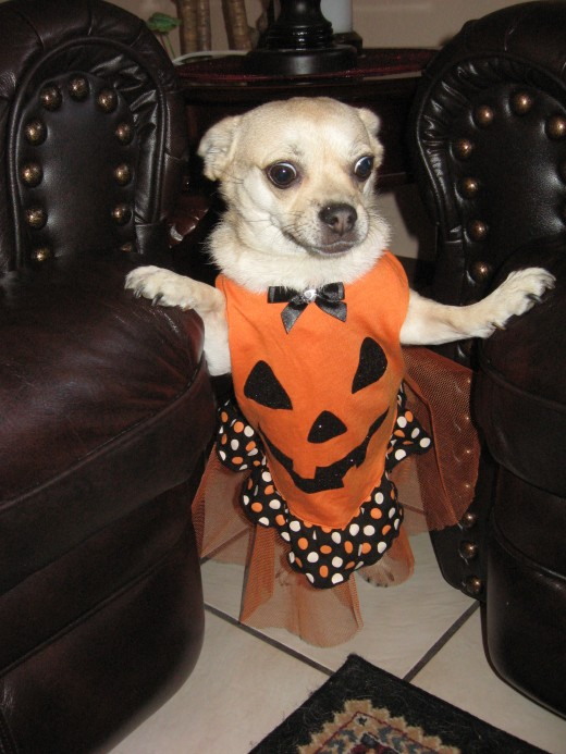 A Dog in a Pumpkin