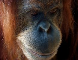 Orangutan, by macinate