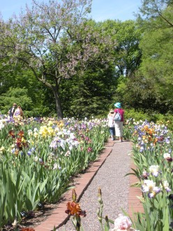 Photo 4 - A row of irises growing, and a path with which to walk along and enjoy them.