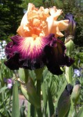 Multi Colored Iris Blossoms - A Gallery