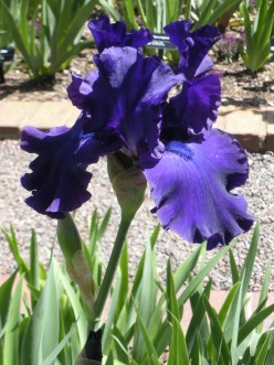 Enjoying Purple Irises in Your Garden - A Gallery