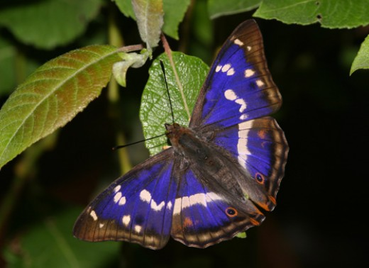 Japanese Emperor Butterfly