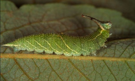 Japanese Emperor Caterpillar