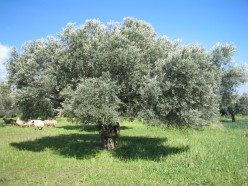 Milking the olive tree