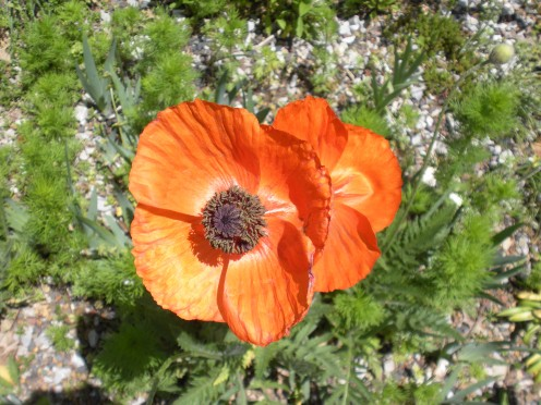 Closer View of an Oriental Poppy