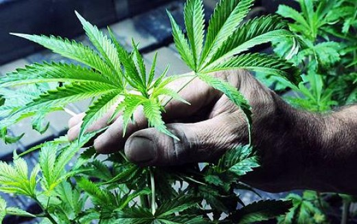 Cannabis plants: Smoking the drug might seriously reduce talent and potential in life