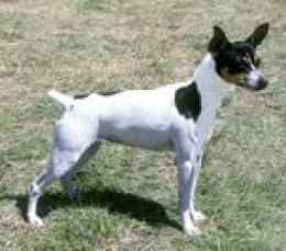 "The Rat Terrier is Referred to as a ""Breed of Many Breeds."""