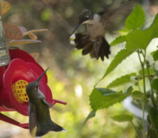 Fight of the Hummingbirds
