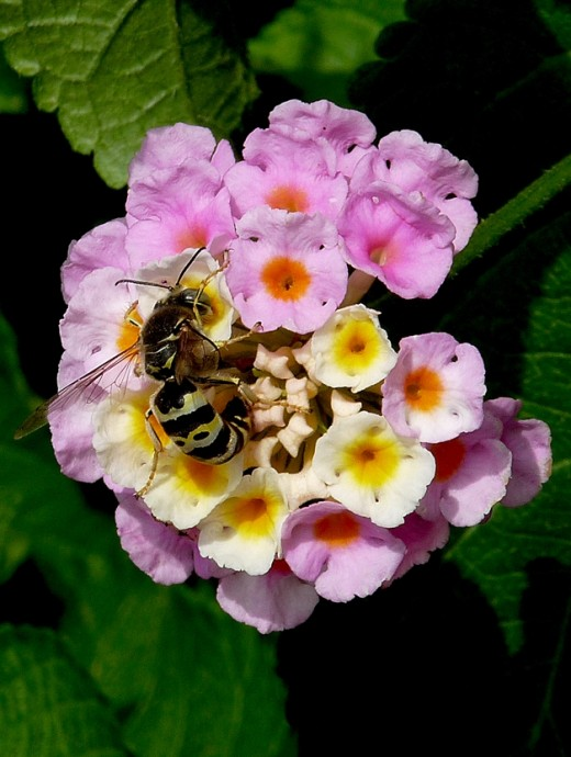 A Wasp on a Lantana