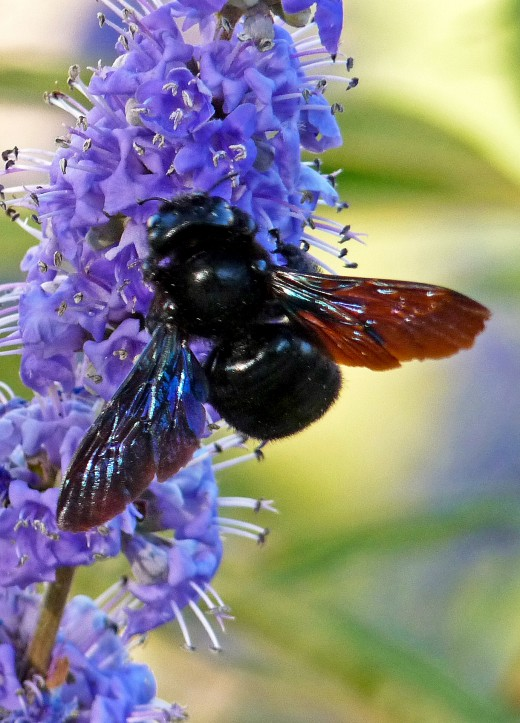 A Carpenter Bee