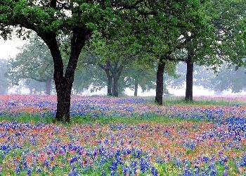 Texas State Flower - Bluebonnet