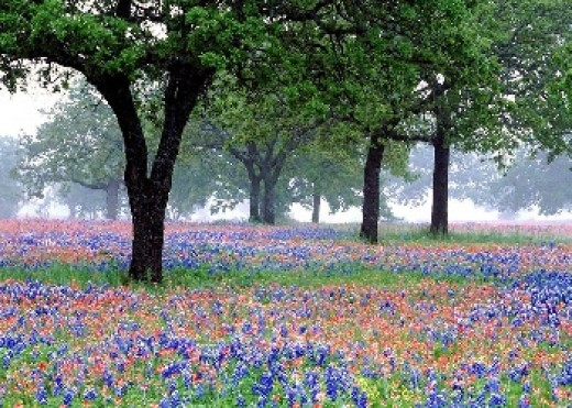 Texas State Flower - Bluebonnet
