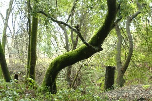 Dancing Moss Tree