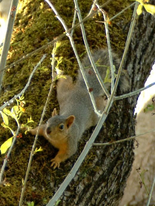 Grey Squirrel Face to Face