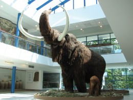A life-size replica of a Woolly Mammoth