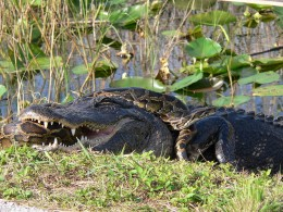 Gator v. python in the Everglades.