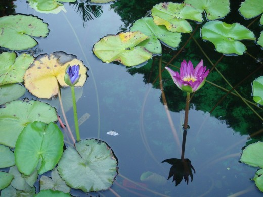 A flower that bloomed in the lily pond.