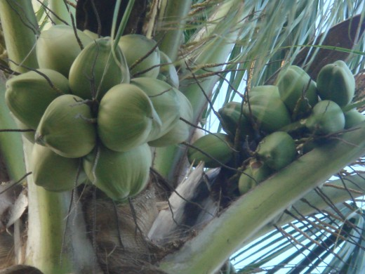 Coconuts at the top of a palm tree in the Cloisters.
