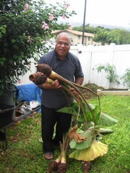 Grandpa and his taro. Copyright Ruth Kongaika