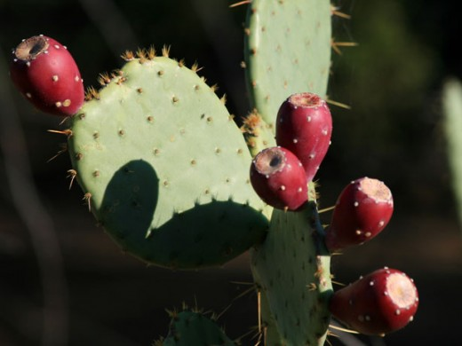 Texas State Plant - Prickly Pear Cactus