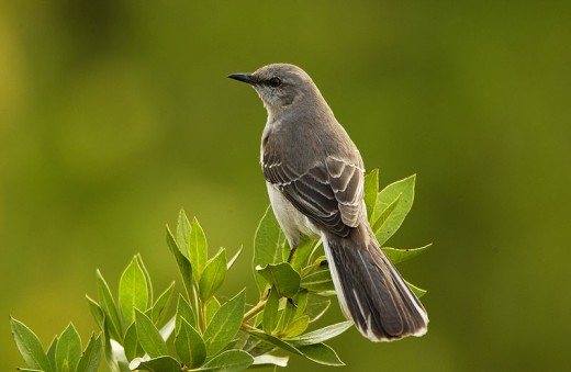 Texas State Bird - Mockingbird